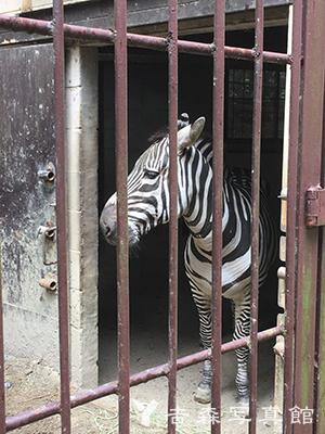 池田動物園のシマウマ