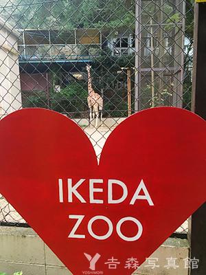 池田動物園のキリン