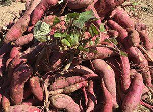 岡山大学農場の芋掘り